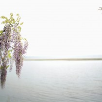 Wisteria 02 001